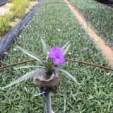 高20-25公分紫花芦莉(翠芦莉)地被苗现货供应