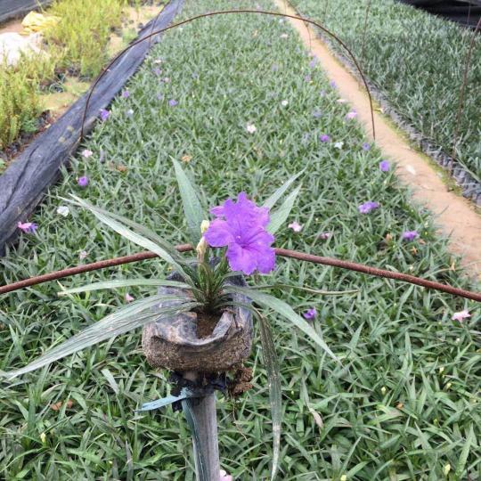 高20-25公分紫花芦莉
