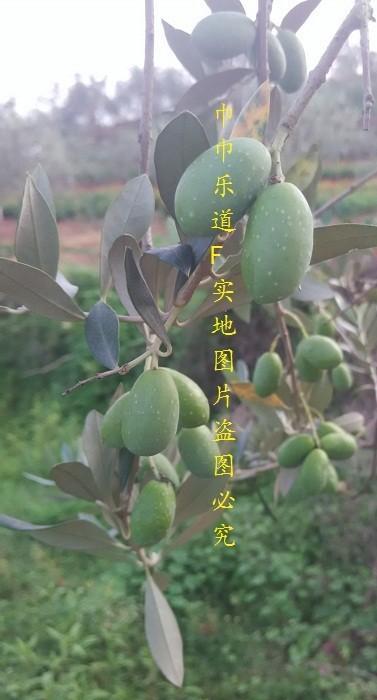 油橄榄-阿贝基纳-1年苗