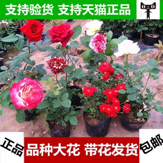 盆栽花卉月季花苗大花月季苗玫瑰苗當年開花 帶花苞 庭院植物