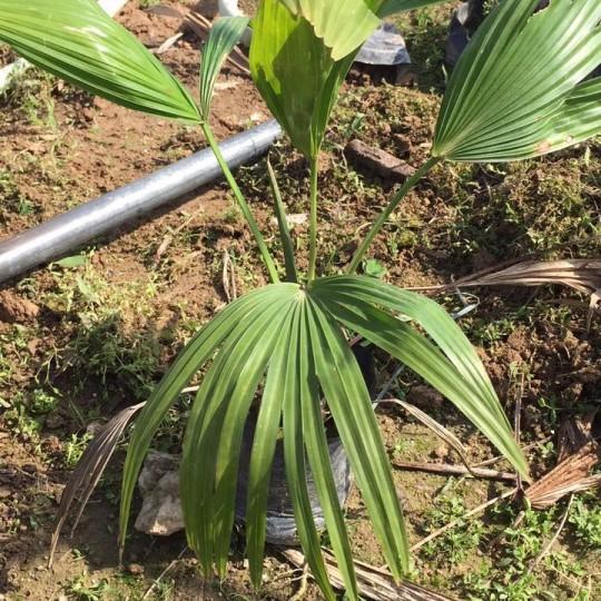 高20-50公分蒲葵