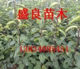 一米梨树苗