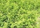 大金星山楂苗供应