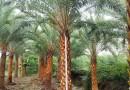 银海枣(杆高4米)