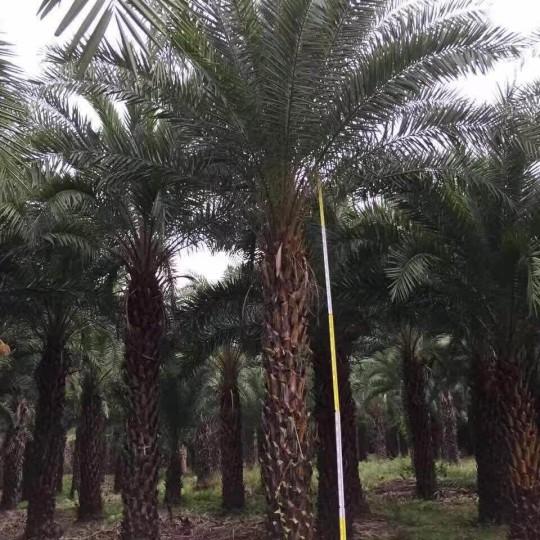中東海棗(桿高3米)
