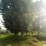 40-60公分法国梧桐