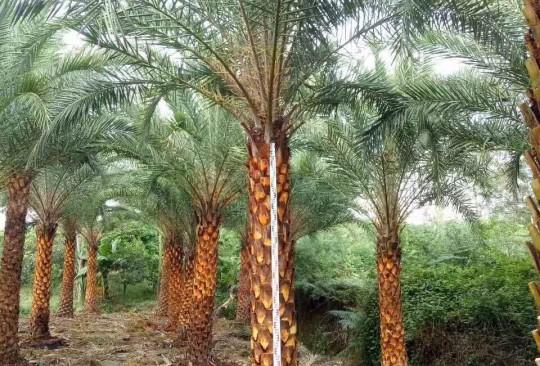 福建中东海枣价格 中东海枣种植基地