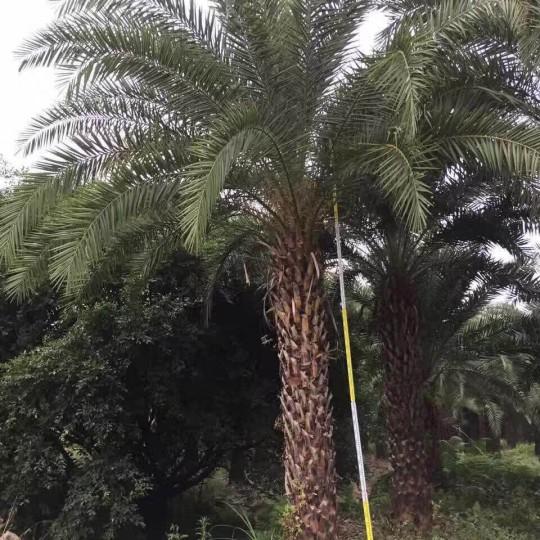 福建中东海枣种植基地 中东海枣树价格