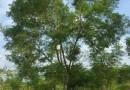 蓝花楹(高度6米)