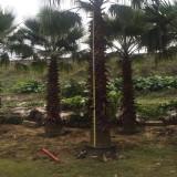 杆高4米老人葵(华棕)