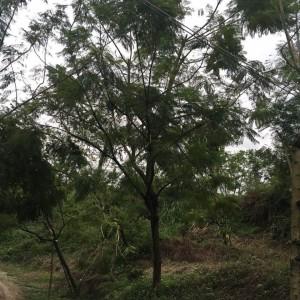 蓝花楹(高度4米)