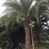 杆高2米中东海枣