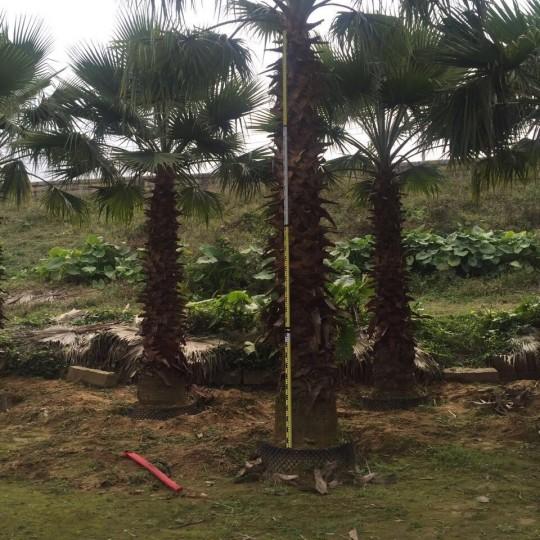 老人葵(华棕)杆高7米