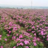 高精油含量四季玫瑰