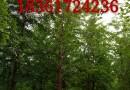 2公分紅楓