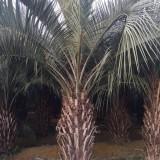 杆高2米布迪椰子出售 漳州布迪椰子树苗批发
