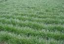 进口高羊茅草坪种子