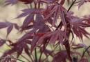 日本红枫三季红