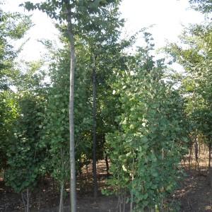 银杏树1-3公分