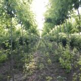 4-7公分复叶槭