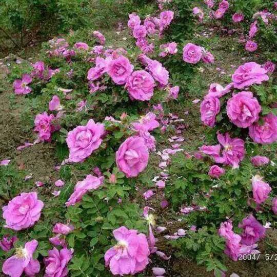 冷香玫瑰穴盘苗