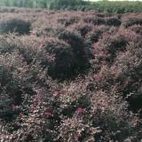 红花继木球(各种规格均有)