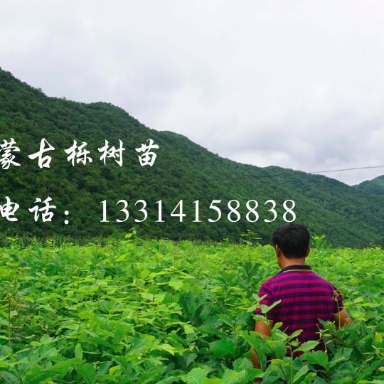 蒙古櫟樹苗