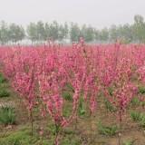 红叶碧桃(多种规格有售)