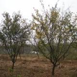 木瓜海棠(多种规格有售)