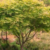 鸡爪槭(多种规格可选)