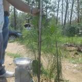 湿地松 两年生 营养杯50—150cm