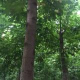 金叶、青叶复叶槭