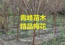成都梅花种植基地  梅花价格  梅花规格