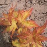 黄金枫 日本黄金枫5—12公分工程苗