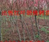 山西红叶碧桃