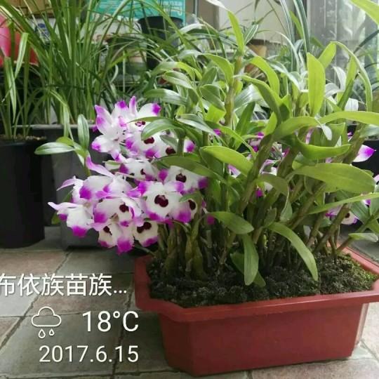 贵州金钗石斛
