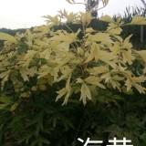 观赏牡丹油用牡丹芍药品种菏泽冠香花木有限公司