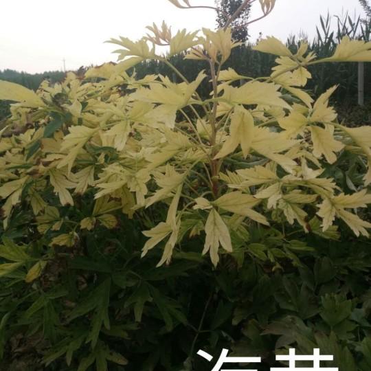 觀賞牡丹油用牡丹芍藥品種菏澤冠香花木有限公司