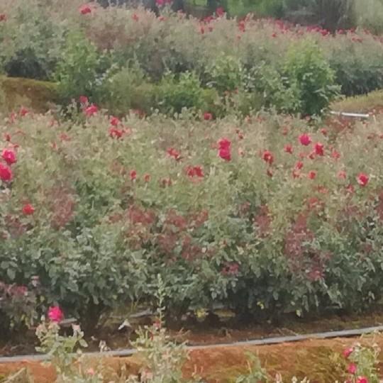 食用玫瑰苗