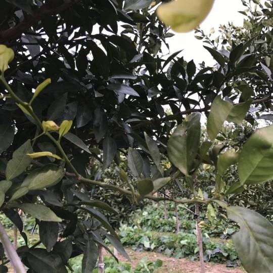 香橼树7-10厘米