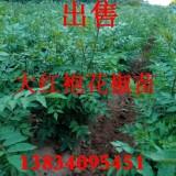 大红袍花椒苗