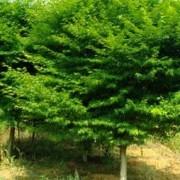 鸡爪槭中规格10到12公分3000支