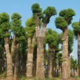 香樟树35公分行25左右的10支出售