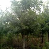 7公分娜塔栎