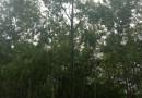 2-22公分娜塔栎