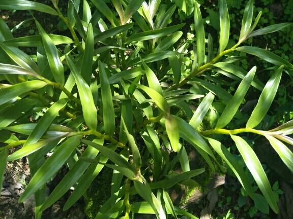 石斛野生分栽可药用亦可观赏