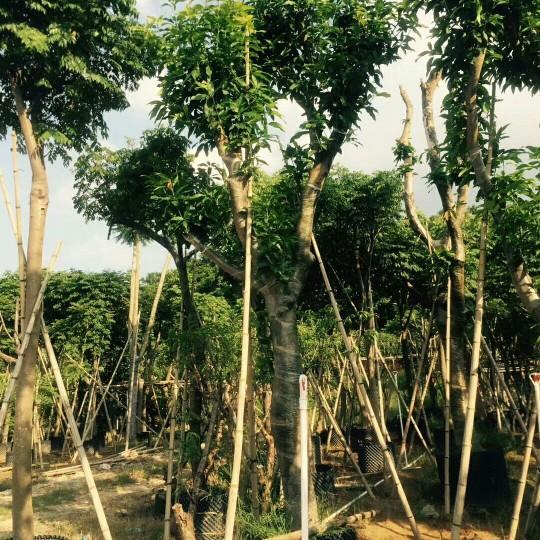 18公分芒果樹