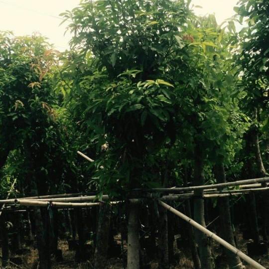 福建芒果樹