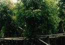 福建芒果树