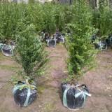 红豆杉盆景苗